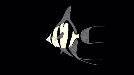 Silver Scalare Angelfish swims in an aquarium. Animated Looped Motion Graphic with Alpha Channel.