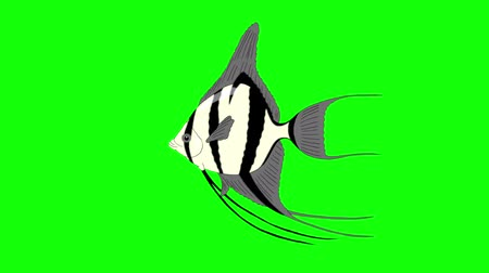 Silver Scalare Angelfish swims in an aquarium. Animated Looped Motion Graphic Isolated on green screen
