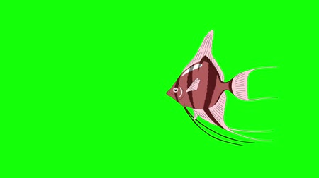 Small Pink Scalare Angelfish swims in an aquarium. Animated Motion Graphic Isolated on green screen