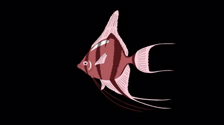 Pink Scalare Angelfish swims in an aquarium. Animated Looped Motion Graphic with Alpha Channel. Стоковые видеозаписи