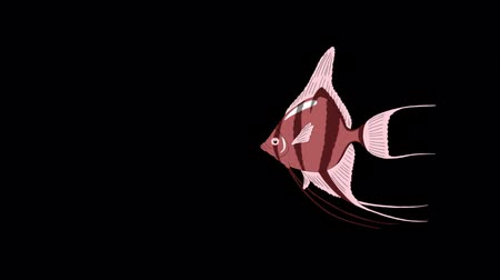 Small Pink Scalare Angelfish swims in an aquarium. Animated Motion Graphic with Alpha Channel.