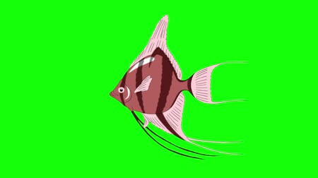 Pink Scalare Angelfish swims in an aquarium. Animated Looped Motion Graphic Isolated on green screen