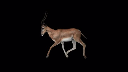 Gazelle Fast Walk Transparent Alpha Loop Animation