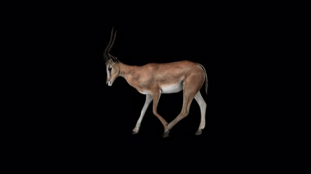 kenia : Gazelle Walk Transparante Alpha Loop Animation