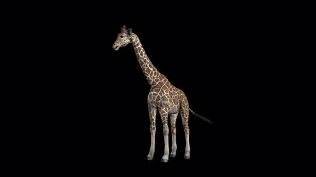 Giraffe Eat Out Transparent Alpha Loop Animation