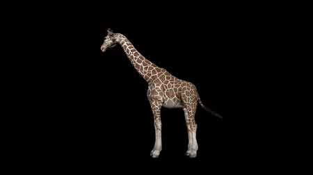 savanne : Giraffe essen transparente Alpha Loop Animation Videos