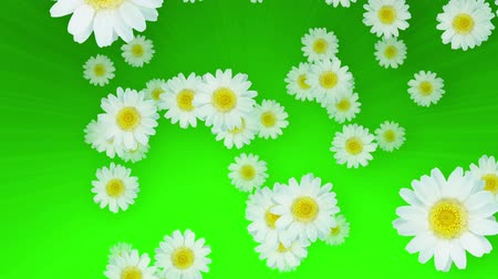 stokrotki : Spring Summer Daisies Green. Daisies in the air in seamless loop.