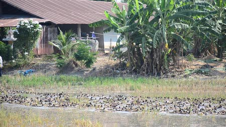 honit : Duck Chase Field Mob in Pathumthani Thailand