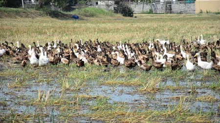small group of animals : Duck Chase Field Mob in Pathumthani Thailand