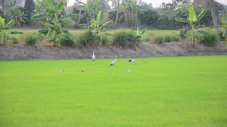 ciconiidae : Ciconiiformes and Swallows Bird on Paddy or Rice field at Nonthaburi, Thailand Stock Footage