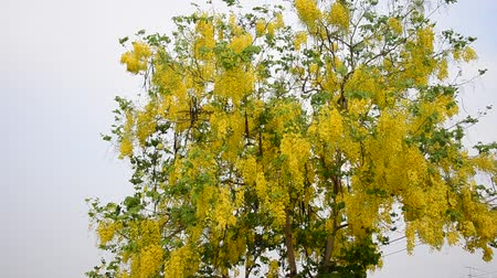 blooms : Wind with Cassia fistula known as the golden shower tree Stock Footage