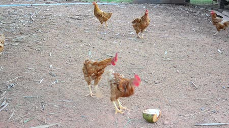 bantam : Betong chicken farm by farmers in the three southernmost provinces of Thailand