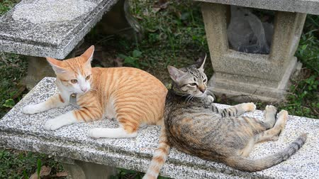 kotě : Thai domestic cats playing on table in garden