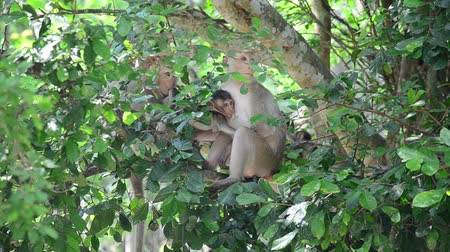 ratchaburi : Monkey on tree at Pong Krathing Hot Spring is located at Baan Phu Nam Ron, , Ban Bueng Sub-district, Ban Kha District of Ratchaburi,Thailand Stock Footage