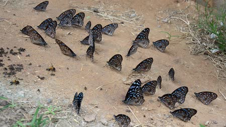 nemzeti : Butterfly eating Salt licks on ground at PanoenThung forest in Kaeng Krachan largest national park of Phetchaburi, Thailand
