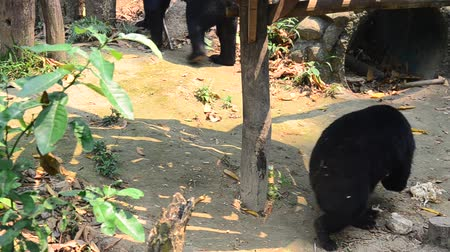 miś : Asian black bear, asiatic black bear, Tibetan black bear,Himalayan black bear or moon bear moving in forest Wideo