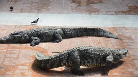 Crocodiles sleeping and resting in the park of Bueng Boraphet is the largest freshwater swamp and lake at Nakhon sawan, Thailand