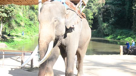 Thai man people mahout riding elephantห service traveler and bring people tour forest at Thai Elephant Conservation Center Lampang, Hang Chat in Lampang, Thailand.