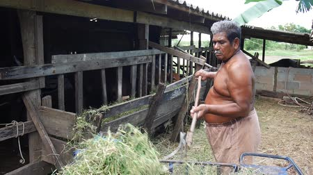 hovězí : Thai fat man older work feeding food and grass to cows in paddock at agricultural countryside farm on April 11, 2017 in Phatthalung province of southern Thailand.