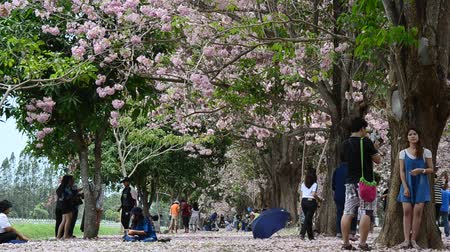 trąbka : Thai people and foreigner travellers walking and visit looking Tabebuia rosea or rosy trumpet tree at garden outdoor in Nakhon Pathom, Thailand