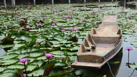 kürek çekme : Movement of pink red lotus and motion of wooden boat floating on pond in Nakhon Pathom, Thailand. Stok Video