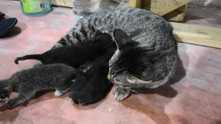 gato selvagem : Domestic thai cat and newborn baby cat on floor in house