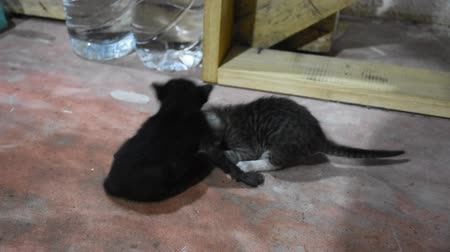bontkraag : Domestic thai cat and new born baby cat on floor in house