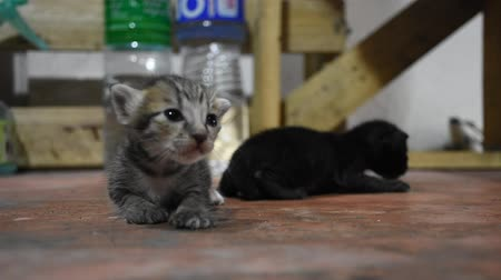 gato selvagem : Domestic thai cat and new born baby cat on floor in house