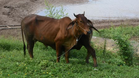 hovězí : Young cows standing and eating food grass at riverside of Mun River Mouth, the point where the Mun river and Mekong river join in Amphoe Khong Chiam in Ubon Ratchathani, Thailand