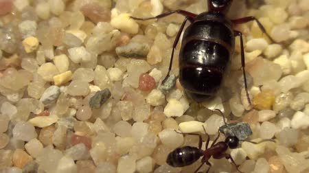 queen ant : Ants Stock Footage