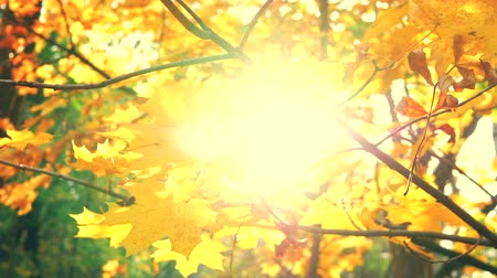 Sunbeams make their way through the autumn leaves and maple branches in a beautiful park. Colorful autumnal leaf closeup with sun. Fall leaves in autumn forest. Static shot in 4k UHD 2160p Slow motion