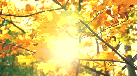 Sunshine through autumn golden leaves and maple branches in a beautiful park. Autumnal leaf closeup with lens flare sun beams. Fall leaves in autumn forest. Static shot in 4k UHD 2160p Slow motion Wideo
