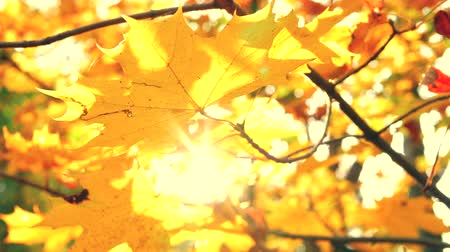 oak : Autumn golden leaf on blurred depth of field background park. Colorful autumnal leaves closeup with sun. Orange fall leaves in autumn forest. Static closeup shot filmed in 4k UHD 2160p Slow motion Stock Footage