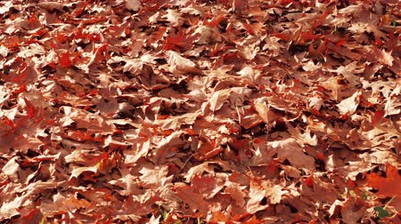 Autumn leaves on floor in park. Colorful autumnal maple leaf closeup. Orange fall leaves in autumn forest. Static closeup shot filmed in 4k UHD 2160p Slow motion Wideo