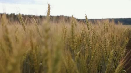 The camera moves among the ears of wheat.