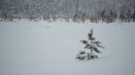 hóesés : One small lonely evergreen pine in blizzard in winter field, Karelia, Russia