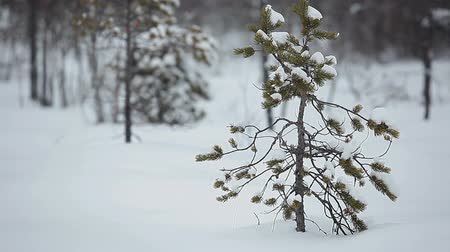pinho : Small pine plant in snowdrift in winter season swinging on strong wind, Karelia, Russia