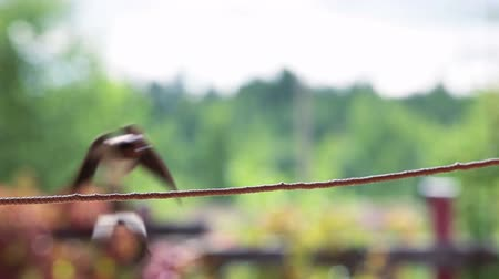 collared : Small swallow sitting on a rope in summer day