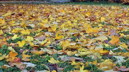 kimse : Carpet from fallen down maple leaves. Yellow background