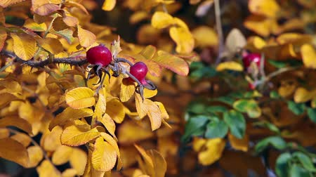 briar : Close up of briar ripe red berries on yellow leaf branch, autumn