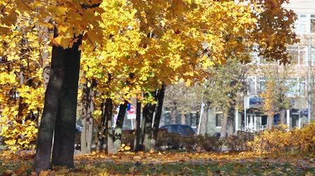 red maple : Maple trees in a city park with yellow leaves. Saint-Petersburg, Russia