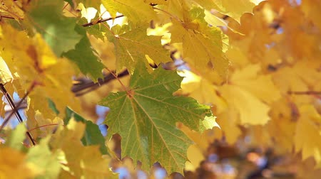 kimse : Green maple leaf on the branch of tree among yellow leaves