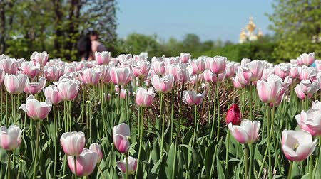 grassplot : Close up of green glade with lots of pink tulips, slightly waving in wind. Asian people on background funny