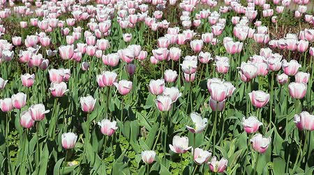 grassplot : Close up of green glade with lots of white tulips, slightly waving in wind Stock Footage