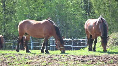 cena não urbana : Two chestnut horses feeding at sunny summer day on meadow Vídeos