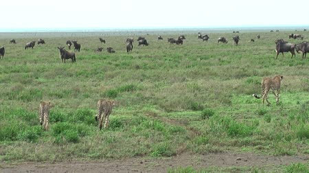 gepard : Tanzanian cheetahs starting the hunt in Ngorongoro Crater and Serengeti National Park, Tanzania, Africa