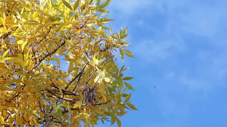 dal : Yellow leaf of tree over blue sky, autumn, copyspace Stok Video