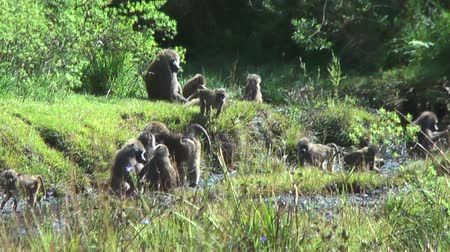 câmara : Troop of baboons on a hill, Tanzania, Africa
