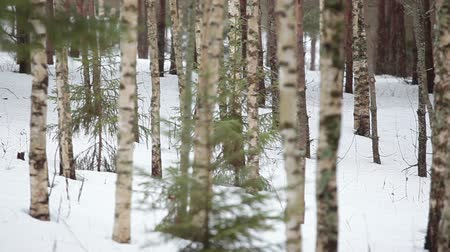 береза : Camera review of the birch grove with tree stems at winter season, deciduous forest