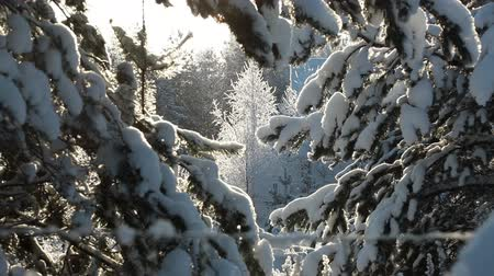 parlayan : Snow falling and shining on the sun through the snowy evergreen trees branches, winter scenic Stok Video